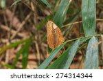 Stichophthalma Louisa Species ...