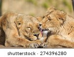 two lioness  are close to each... | Shutterstock . vector #274396280