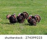 Strutting Male Turkeys On A...