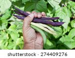 Fresh String Beans In Man's...