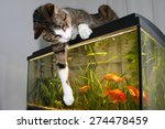 Stock photo cat cat sitting on the aquarium playing with goldfish 274478459