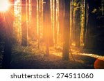 Redwood Forest Scenery. Summer...