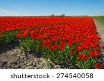 Red Tulips On A Sunny Field In...
