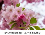 pink sakura flower blooming ...   Shutterstock . vector #274555259