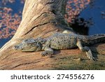 Baby Mugger Crocodile ...