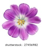 purple tulip isolated on white... | Shutterstock . vector #27456982