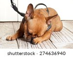 Stock photo dog with leather leash waiting to go walkies 274636940