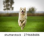 Stock photo young purebred golden retriever outdoors on grass field on a sunny summer day 274668686