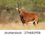Female Sable Antelope ...