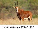 Female Sable Antelope ...