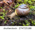Small photo of Oregon Forestsnail - Allogona townsendiana