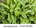 Green Comfrey Leaves