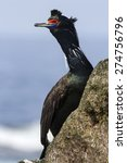 Red Faced Cormorant In Breeding ...
