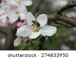 a bee pollinates a burgeoning... | Shutterstock . vector #274833950