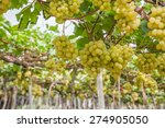 a vineyard full of grapes ready ... | Shutterstock . vector #274905050