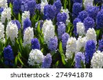 Flowers In Holland Garden...