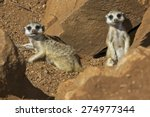 Suricate Meerkat