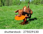 Stock photo dog breed standard smooth haired dachshund bright red color dog running with flying saucer dog 275029130