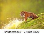 Beautiful Sumatran Tiger...