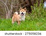 Shiba Inu Puppy Portrait On...