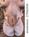 A Close Up Of A Lazy Camel...