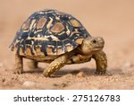 Stock photo leopard tortoise walking slowly on sand with his protective shell 275126783