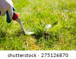 Using a weed pulling tool to remove a weed from the lawn by hand - stock photo