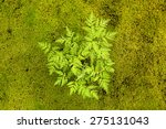 Moss Plant And Little Plant On...
