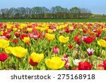 Landscape With Colorful Tulip...