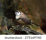 double barred finch ...   Shutterstock . vector #275169740