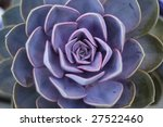 succulent plant | Shutterstock . vector #27522460