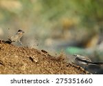 Bluethroat Chased By White...