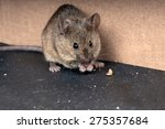 Common house mouse   mus...