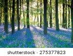 Purple Bluebell Woods In Early...