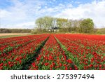 Row Of Red Tulips On Fields...