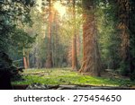 Sunset In The Sequoia Forest ...