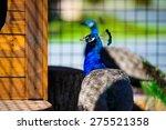 portrait of beautiful peacock | Shutterstock . vector #275521358