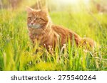 Cat In The Green Grass In...