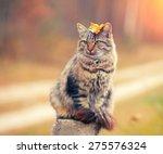 Siberian Cat Sitting In The...