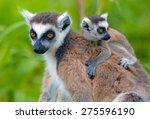 lemurs of madagascar | Shutterstock . vector #275596190