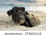 Stock photo portrait of a black yorkshire terrier on the sea beach playing by dig sand with perfect twilight 275601113