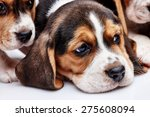 beagle puppy  1 month old  ... | Shutterstock . vector #275608094