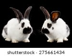 White Rabbits Isolated On Blac...