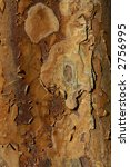 Small photo of Paperbark Maple (Acer griseum) Bark
