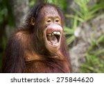 Stock photo the orangutan 275844620
