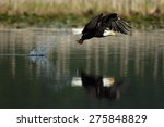 Bald Eagle Fishing With A...