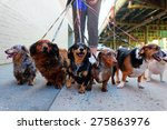 Stock photo walking the pack array of dogs most dachshunds being walked by single person in the background on 275863976