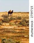 lone camel in the desert   Shutterstock . vector #2759715