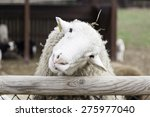White sheep in rural farm ...