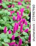 Small photo of Chenille plant Acalypha hispida -